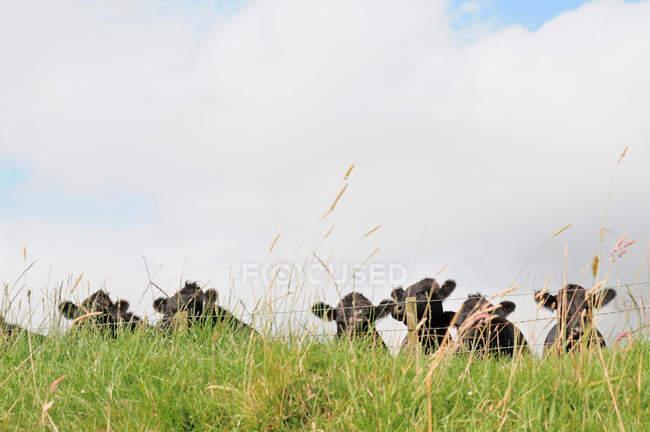Kühe in eingezäunten Wiese — Stockfoto
