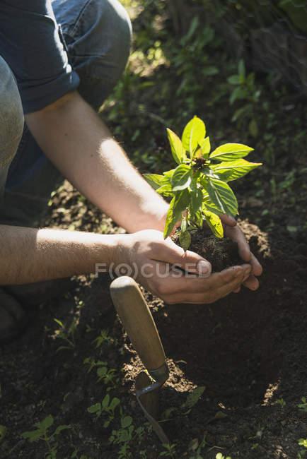 Gardener putting plant into ground — Stock Photo