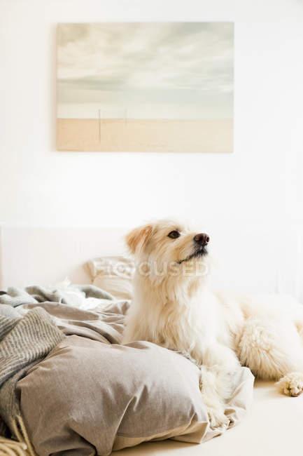 Cão sentado na cama e olhando para longe — Fotografia de Stock