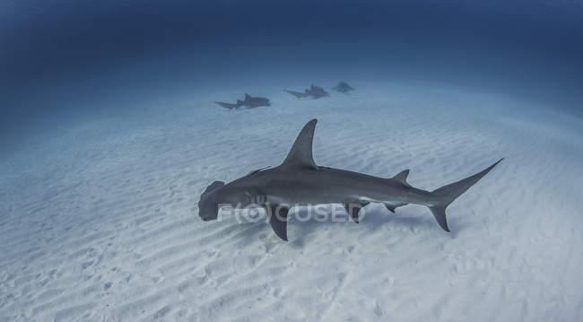 Baignade avec des requins nourrices requin marteau en arrière-plan — Photo de stock