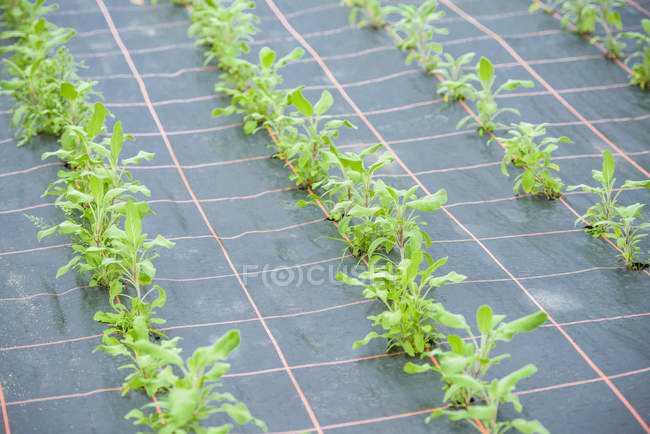 Rows of sage growing in greenhouse — Stock Photo