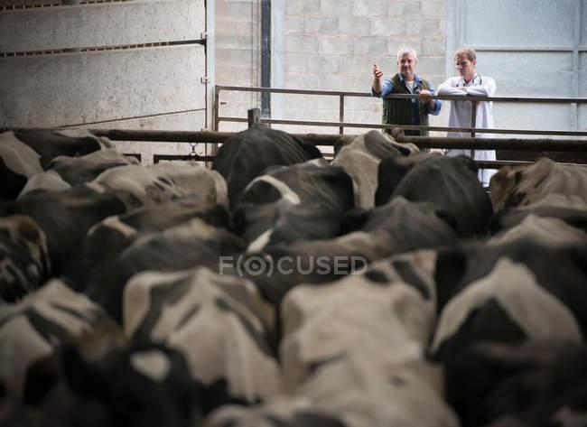 Фермер і ветеринара, що обговорення корови у фермі щоденник сарай — стокове фото