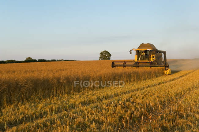 Crop field of oil seed rape cut — Stock Photo