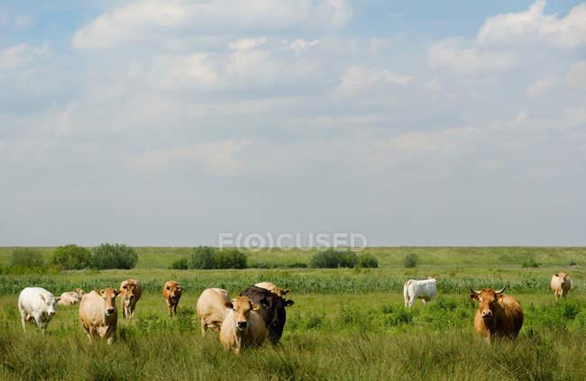 Коровы, выпаса скота в сельских травянистое поле — стоковое фото