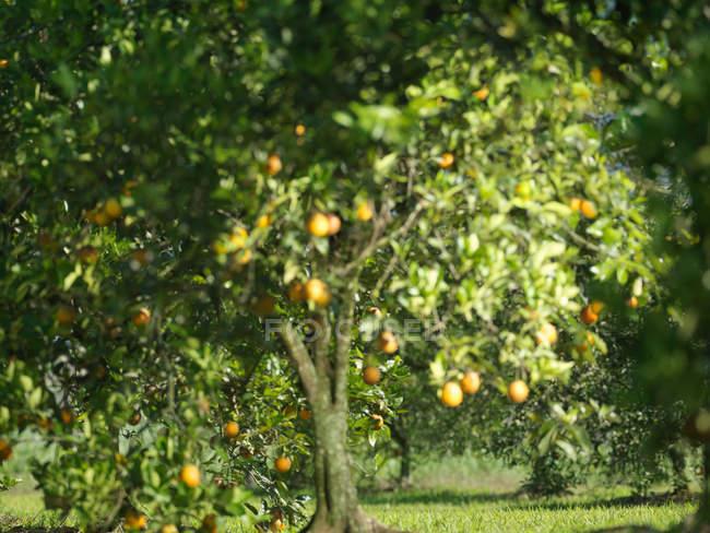 Красивые спелые апельсины висят на апельсине в саду — стоковое фото