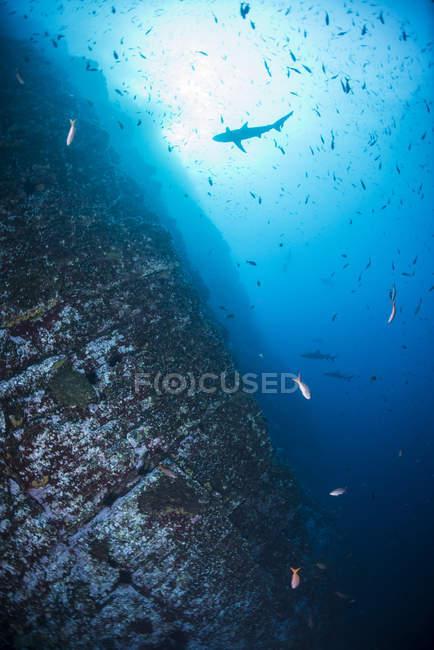 Escolarización de peces nadando bajo agua azul - foto de stock