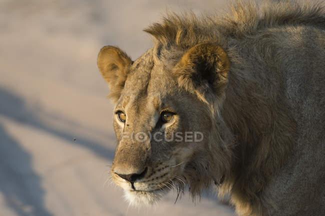 Vista da vicino del volto di leone su sfondo sfocato — Foto stock