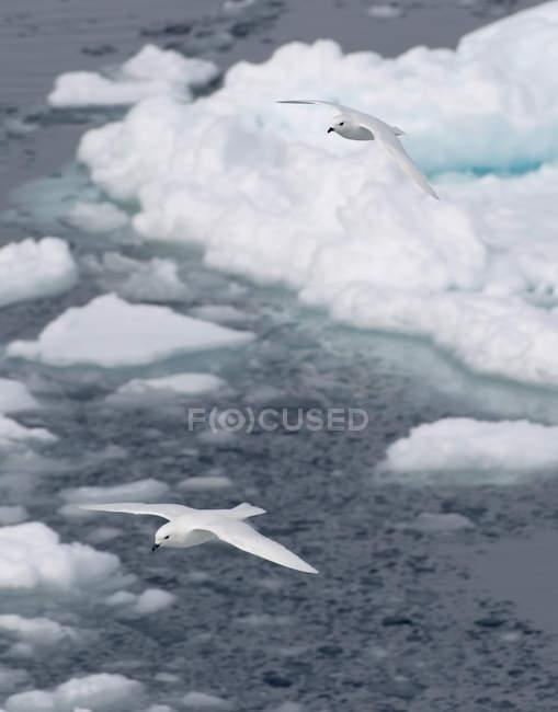 Glide de pétrels de neige au-dessus de la banquise — Photo de stock