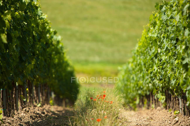Wildflowers growing between vines — Stock Photo