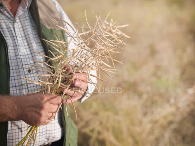 Farmer holding oilseed stems in field — Stock Photo