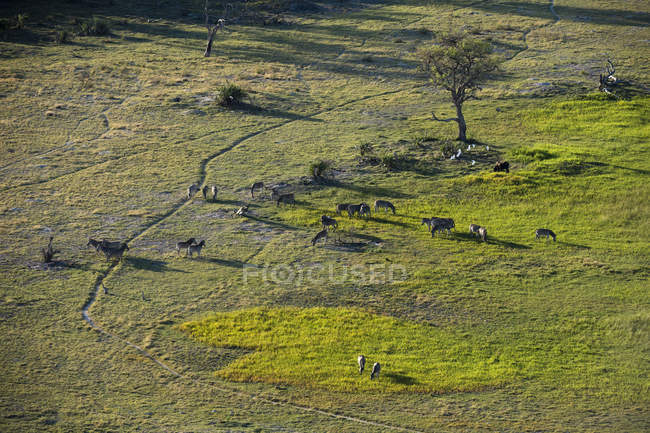 Vista aérea de cebras pastando en vida silvestre, botswana, África - foto de stock