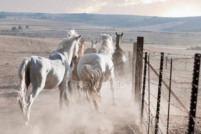 Pferde laufen in staubigen Feld — Stockfoto