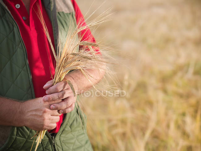 Cropped shot of farmer holding ripe ears of barley in field — Stock Photo