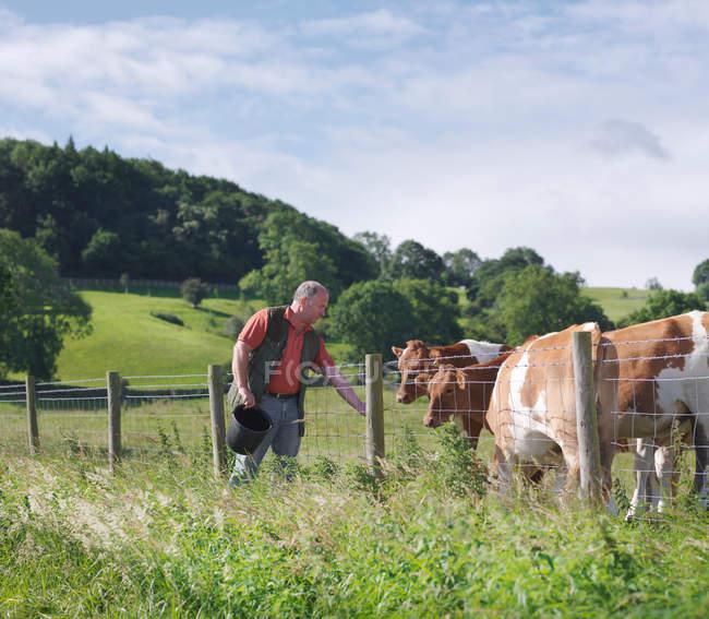 Bauer füttert Guernsey-Kälber auf dem Feld — Stockfoto
