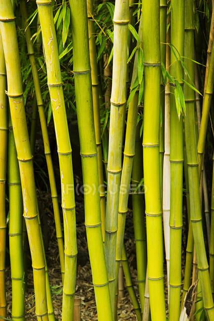 Plantas de bambu verde vívido na luz do dia — Fotografia de Stock