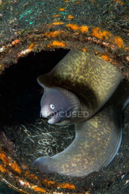 Moreia verde com a boca aberta debaixo d'água — Fotografia de Stock
