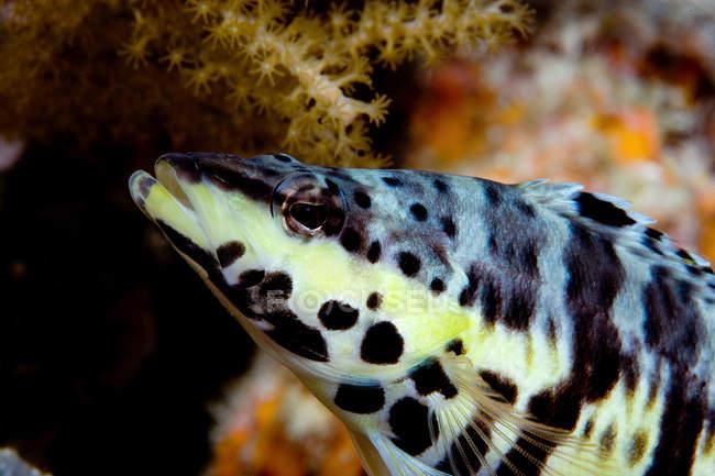 Bajo arlequín con algas marinas - foto de stock