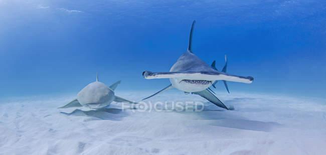 Grand requin-marteau à côté de requin nourrice — Photo de stock
