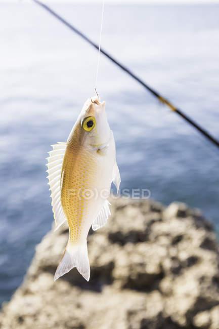 Cerca de los peces capturados en el anzuelo, Lombok, Indonesia - foto de stock