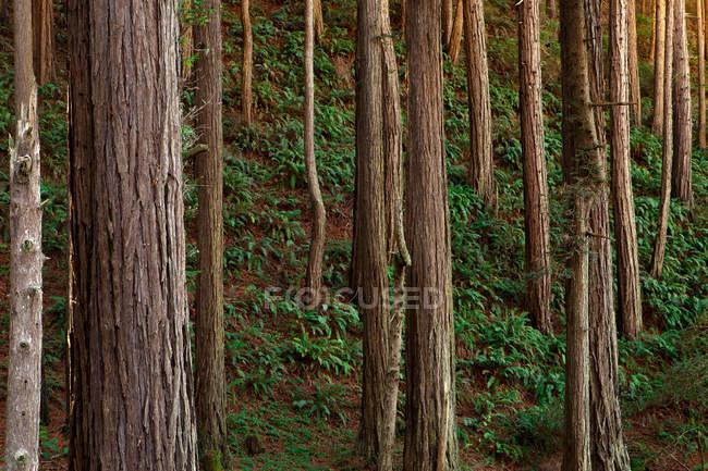 Belas árvores altas e samambaia verde na majestosa floresta — Fotografia de Stock