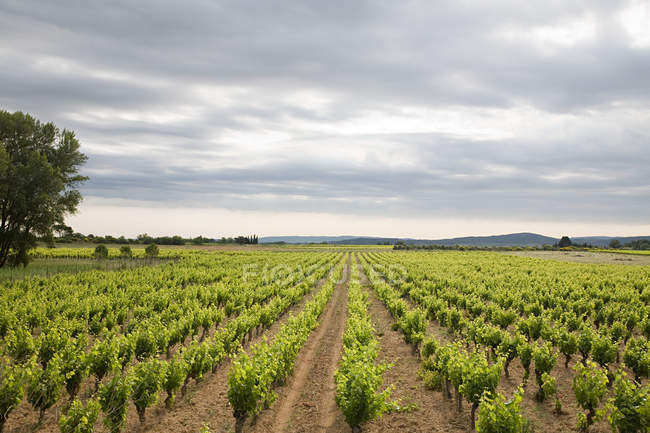 Vineyard and view of sky — Stock Photo