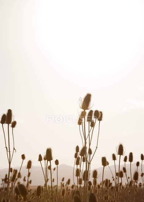 Schilf und Rasen auf Feld im Gegenlicht — Stockfoto