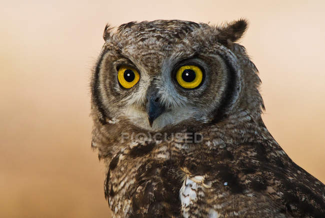 Hibou grand-duc tacheté — Photo de stock
