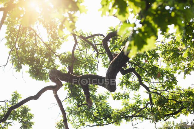 Détail rétro-éclairé à angle bas de chêne — Photo de stock