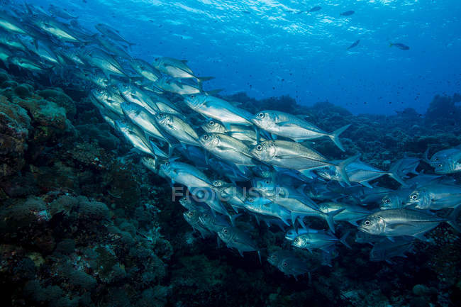 School of fish under water — Stock Photo