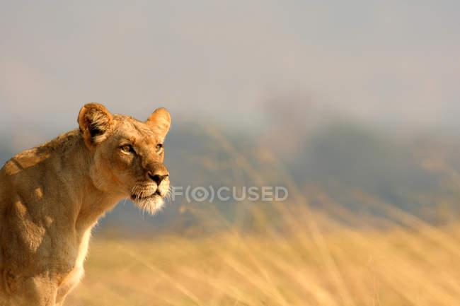 Львица в ярком солнечном свете в Саванна, глядя — стоковое фото