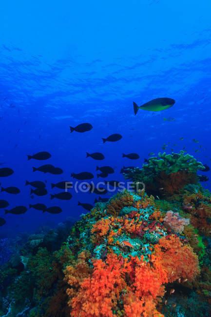 Fischschwärme schwimmen am Korallenriff — Stockfoto