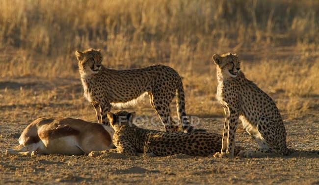 Гепардів, зберігаючи стерегли вбити, Кгалагаді прикордонний парк, Африка — стокове фото