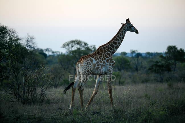 Giraffe at dusk, Sabi Sand Game Reserve, South Africa — Stock Photo