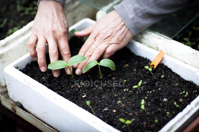 Mani di giardiniere che si occupano di piantine in serra — Foto stock