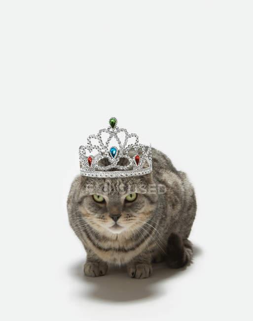 Кішка носити тіару — стокове фото