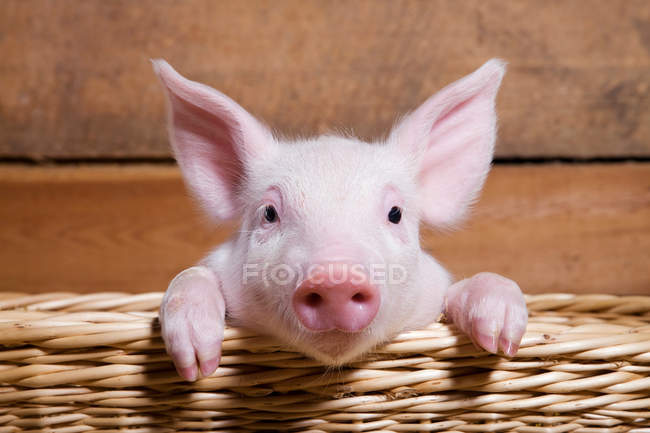 Piglet in straw basket looking at camera, close up — Stock Photo
