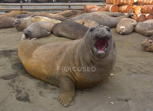 Elephant Seals, lato nord-est dell'isola di Macquarie, Oceano Meridionale — Foto stock