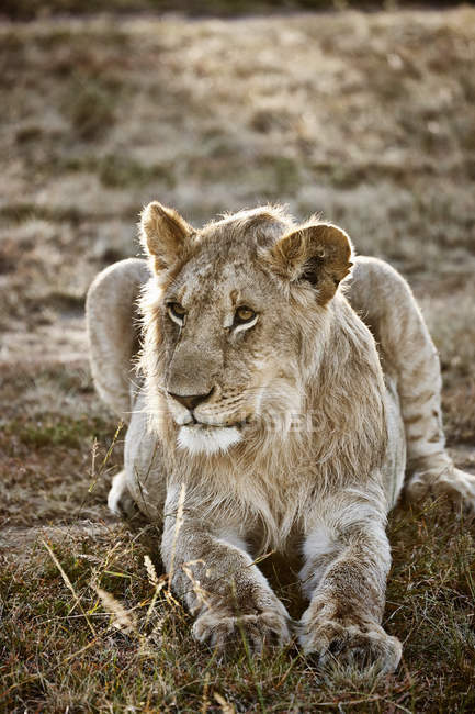 Lioness lying on meadow at Masai Mara, Narok, Kenya, Africa — Stock Photo