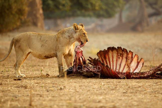 Löwin leckt Nase von getötetem Büffel — Stockfoto