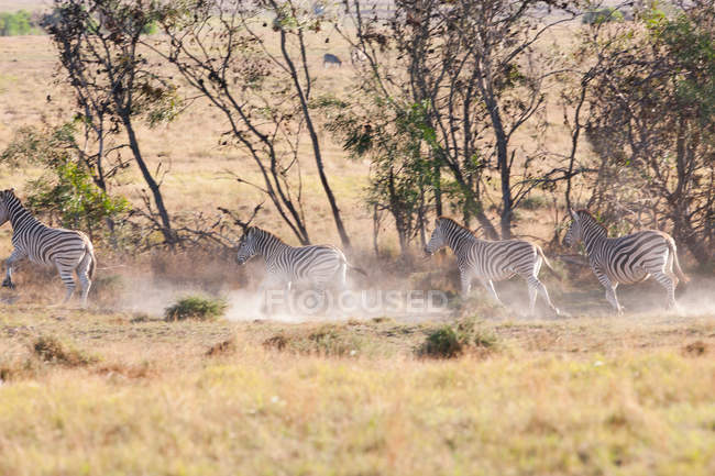 Cebras salvajes Safari - foto de stock