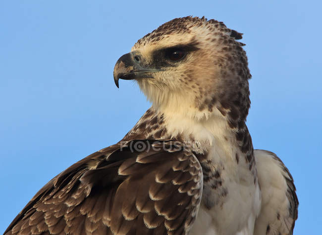 Jeune aigle Martial — Photo de stock