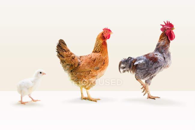 Hahn und Henne mit Küken stehen — Stockfoto