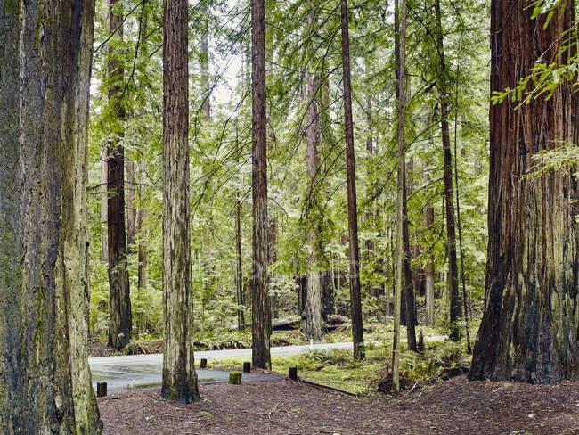Arbres verts de Avenue of Giants, Eureka, Californie, États-Unis — Photo de stock