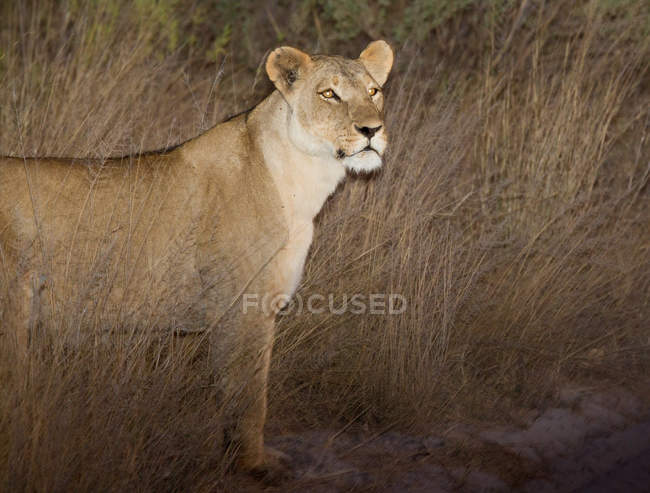 Front view of lioness standing on ground, Botswana — Stock Photo