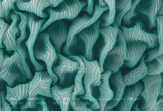 Scanning electron micrograph of crimson clover flower petal — Stock Photo