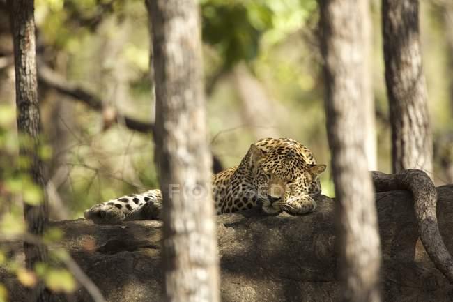 Léopard dormant sur pierre dans le parc national de Satpura, Madhya Pradesh, Inde — Photo de stock