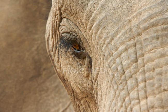 Африканский глаз слона — стоковое фото