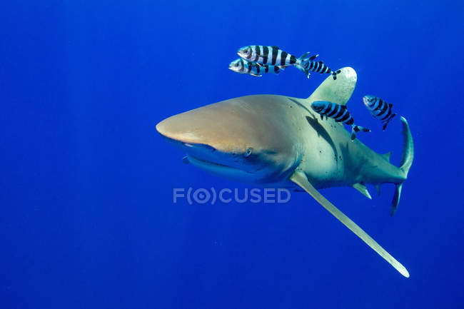 Oceanic whitetip shark with striped fish under water — Stock Photo