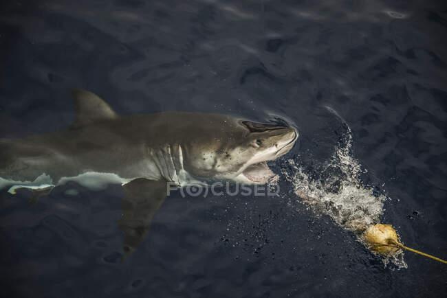 Grande squalo che prende esche da pesca, Guadalupe Island, Messico — Foto stock