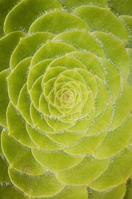 Folhas de plantas suculentas — Fotografia de Stock